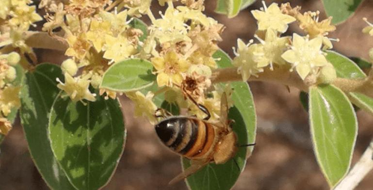 خواص عسل کنار